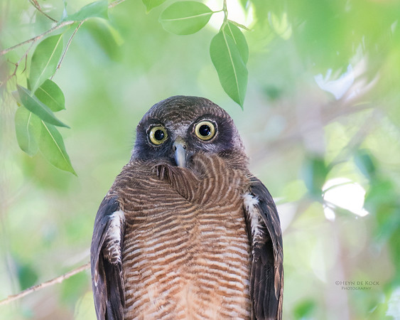Rufous Owl, Cairns, QLD, Dec 2014-2