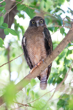 Rufous Owl, Cairns, QLD, Dec 2014-1
