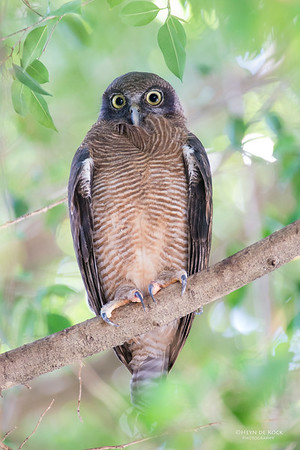 Rufous Owl, Cairns, QLD, Dec 2014