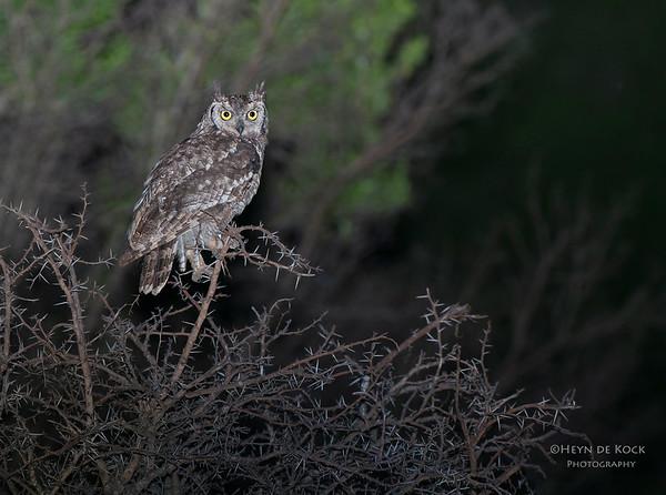 Spotted Eagle-owl, Ithala NP, KZN, SA Jan-2014-2