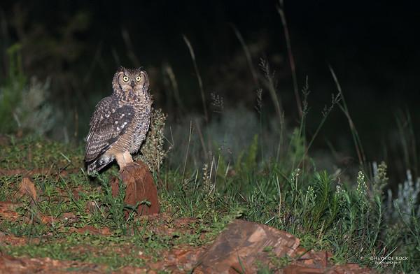 Sptted Eagle-owl, Ithala NP, KZN, SA Jan-2014-1