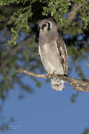 Verreaux's Eagle Owl, Khwai River Concession, Botswana, May 2017-2