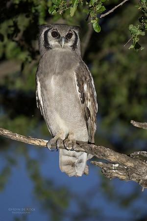 Verreaux's Eagle Owl, Khwai River Concession, Botswana, May 2017-1
