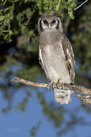 Verreaux's Eagle Owl, Khwai River Concession, Botswana, May 2017-3