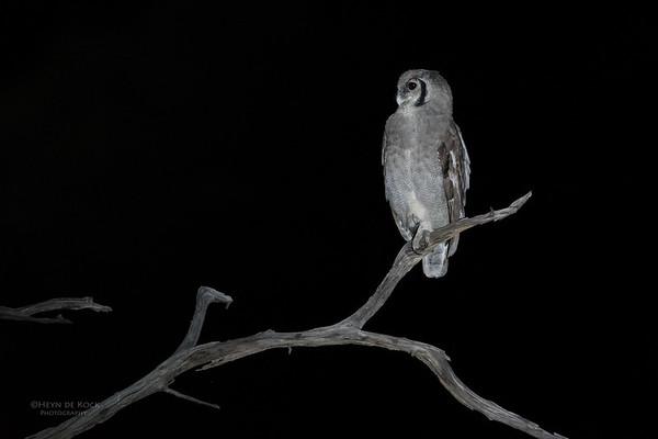 Verreaux's Eagle Owl, Khwai River Concession, Botswana, May 2017-4