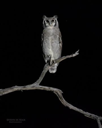 Verreaux's Eagle Owl, Khwai River Concession, Botswana, May 2017-5