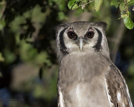 Verreaux's Eagle Owl, Khwai River Concession, Botswana, May 2017-3a