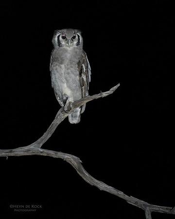 Verreaux's Eagle Owl, Khwai River Concession, Botswana, May 2017-6