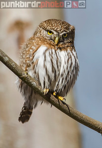Northern Pygmy-Owl (Glaucidium gnoma)