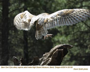 Barn Owl M30108c