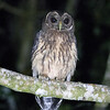 Mottled Owl A86073