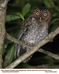 Bare-shanked Screech-Owl A82915