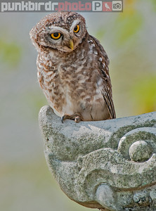 spotted owlet (athene brama)