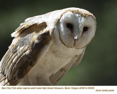 Barn Owl M30095c