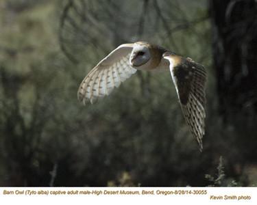Barn Owl M30055c