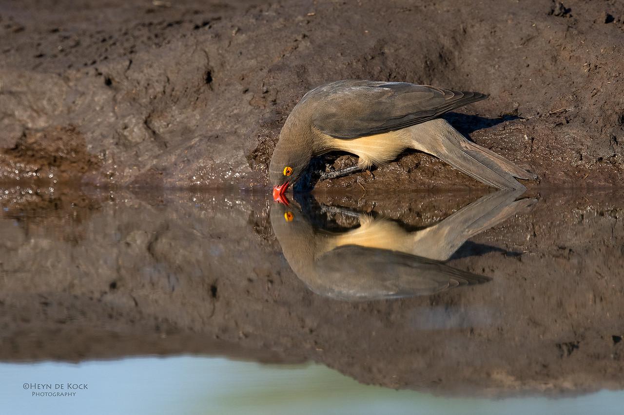 Red-billed Oxpecker, Mashatu GR, Botswana, May 2017-2