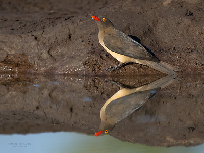 Red-billed Oxpecker, Mashatu GR, Botswana, May 2017-1