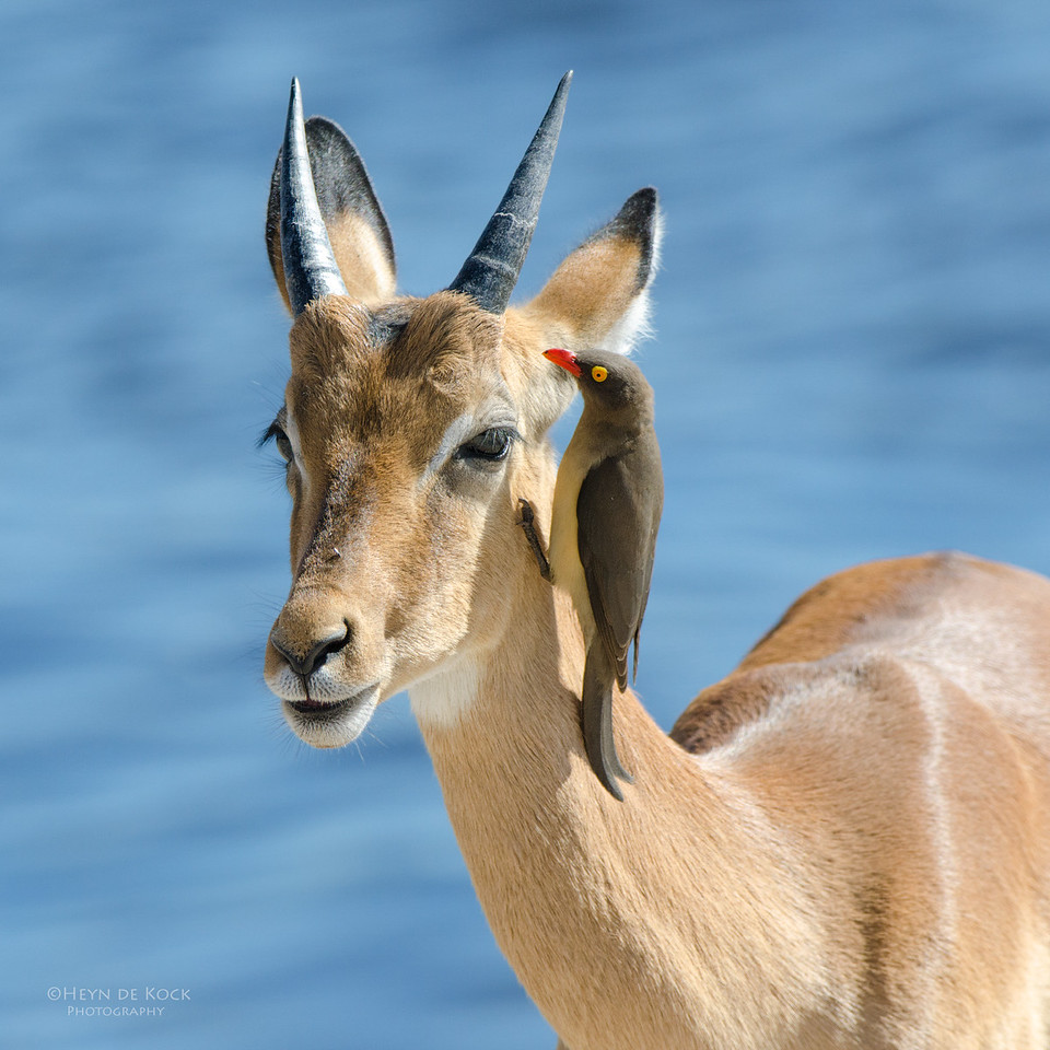 Red-billed Oxpecker and Impala, Chobe NP, Botswana, Jul 2011-2