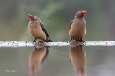 Red-billed Oxpecker, Zimanga, South Africa, May 2017-3