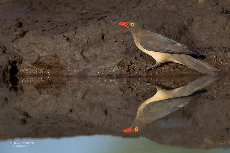 Red-billed Oxpecker, Mashatu GR, Botswana, May 2017-3