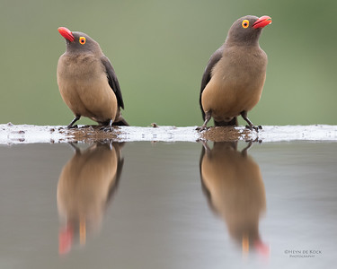 Red-billed Oxpecker, Zimanga, KZN, South Africa, May 2017-1