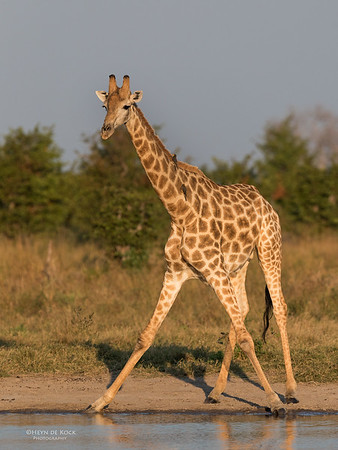 Southern Giraffe, Savuti, Chobe NP, Botswana, May 2017-5