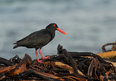 African Oystercatcher, Table Mountain NP, WC, SA, Jan 2014-1