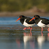 Pied Oystercatcher, Shoalhaven Heads, NSW, Sept 2014