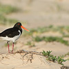 Pied Oystercatcher, Lake Conjola, NSW, Aus, Sept 2013-1