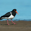 Pied Oystercatcher, Shoalhaven Heads, NSW, Oct 2012-1