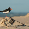 Pied Oystercatcher, Lake Conjola, NSW, Aus, Sept 2013