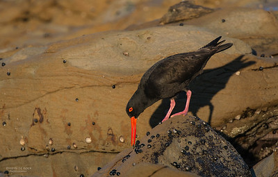 Sooty Oystercatcher, Bellambi Beach, NSW, Aus, Sep 2012-2