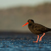 Sooty Oystercatcher, Ulladulla, NSW, Aug 2014-3