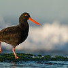 Sooty Oystercatcher, Ulladulla, NSW, Aug 2014-2