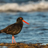 Sooty Oystercatcher, Bellambi Beach, NSW, Aus, Sep 2012-1