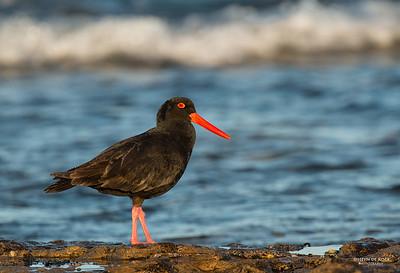 Sooty Oystercatcher, Bellambi Beach, NSW, Aus, Sep 2012-1