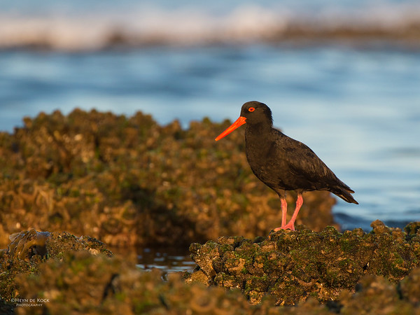Sooty Oystercatcher, Belambi Beach, NSW, Aus, Oct 2012-1