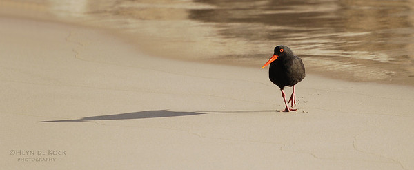 Sooty Oystercatcher, Long Point, WA, Aus