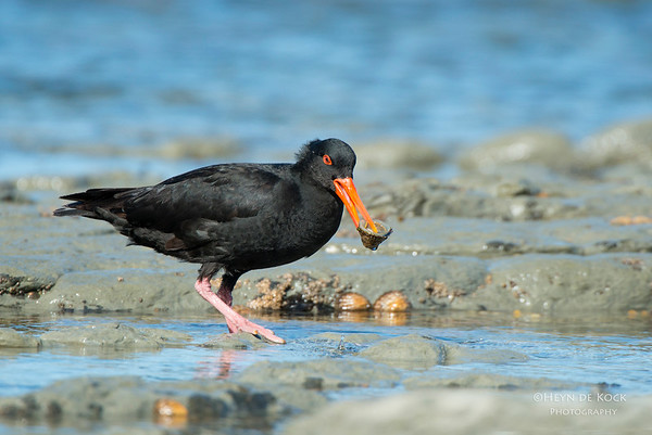 Variable Oystercatcher, Kaikoura, SI, NZ, Jan 2013
