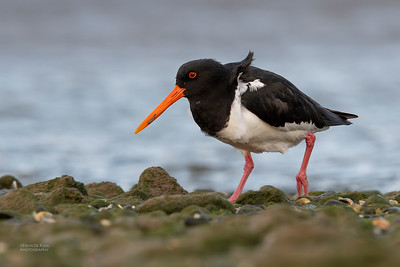Variable Oystercatcher, Christchurch, SI, NZ, Sep 2018-2