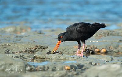 Variable Oystercatcher, Kaikoura, SI, NZ, Jan 2013-1