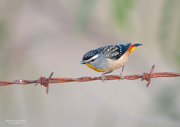 Spotted Pardalote, Capertee Valley, NSW, Sep 2013-1