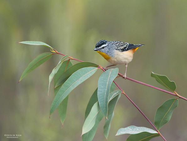 Spotted Pardalote, Capertee Valley, NSW, Sep 2013