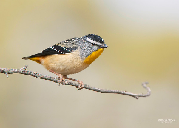 Spotted Pardalote, Capertee Valley, NSW, Sep 2013-2a copy