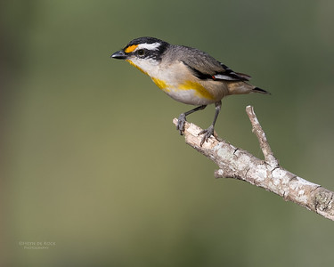 Striated Pardalote, Oxley Creek Common, Brisbane, QLD, Sept 2017-1