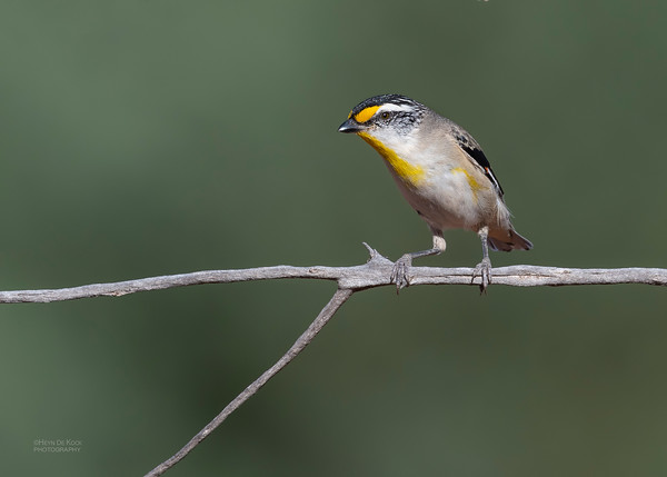 Striated Pardalote, Round Hill NR, NSW, Oct 2018-1