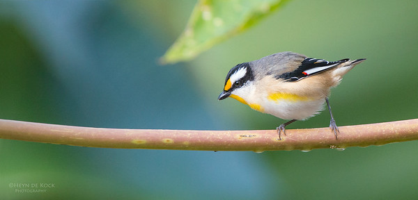 Striated Pardalote, Tallai, QLD