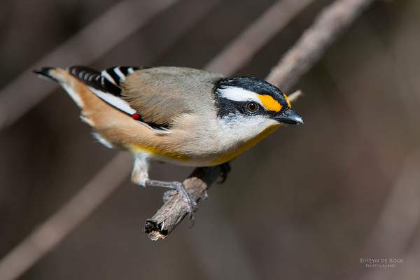 Striated Pardalote, D'Anguilar NP, May 2011-2