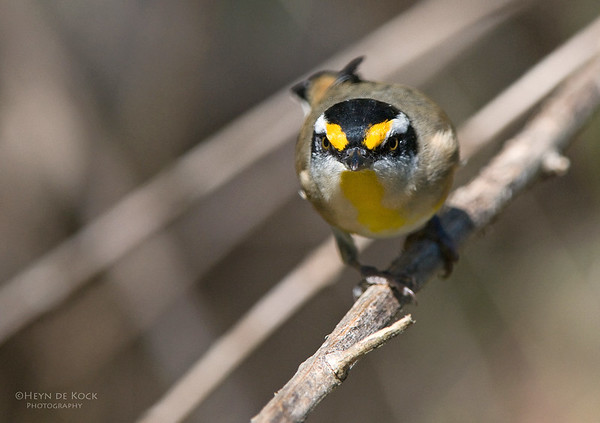 Striated Pardalote, Brisbane Forest Park, Qld, Aus, May 2011-1