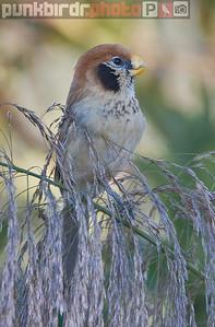Spot-breasted Parrotbill (Paradoxornis guttaticollis)